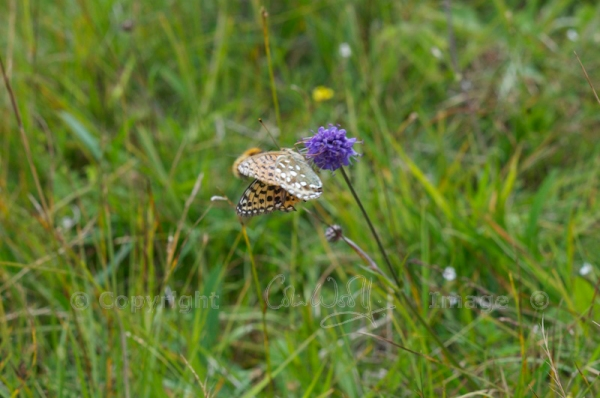 Dark Green Fritillary (3)