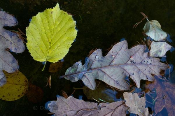 Oak galls on oak leaf