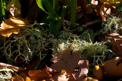 Lichen, oak leaves and acorns