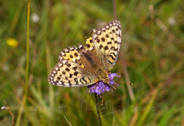 Dark Green Fritillary (1)