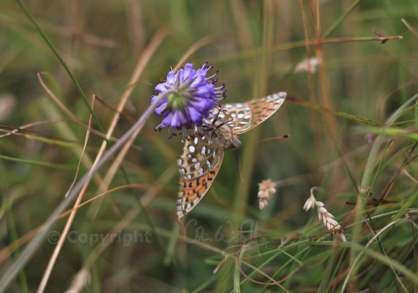 Dark Green Fritillary (2)