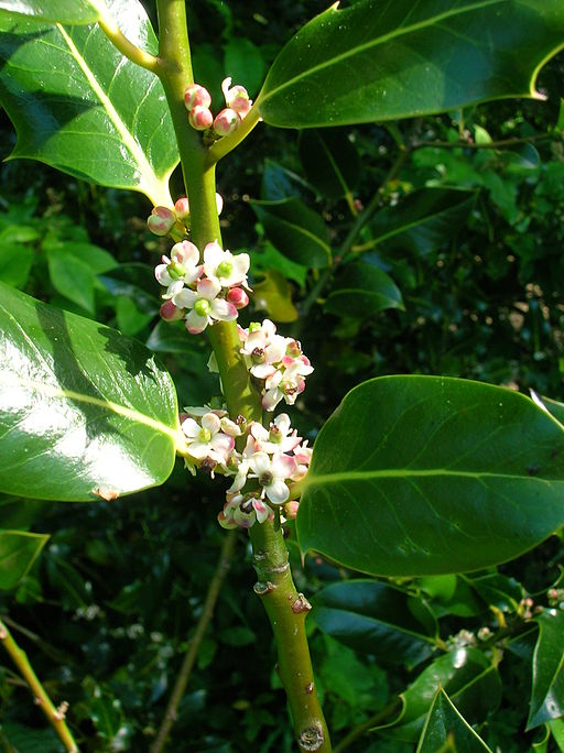 Holly flowers, via Wikimedia; credit Rosser1954 Roger Griffith