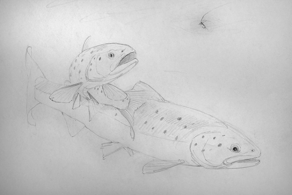 Brown trout - working sketch by Colin Woolf