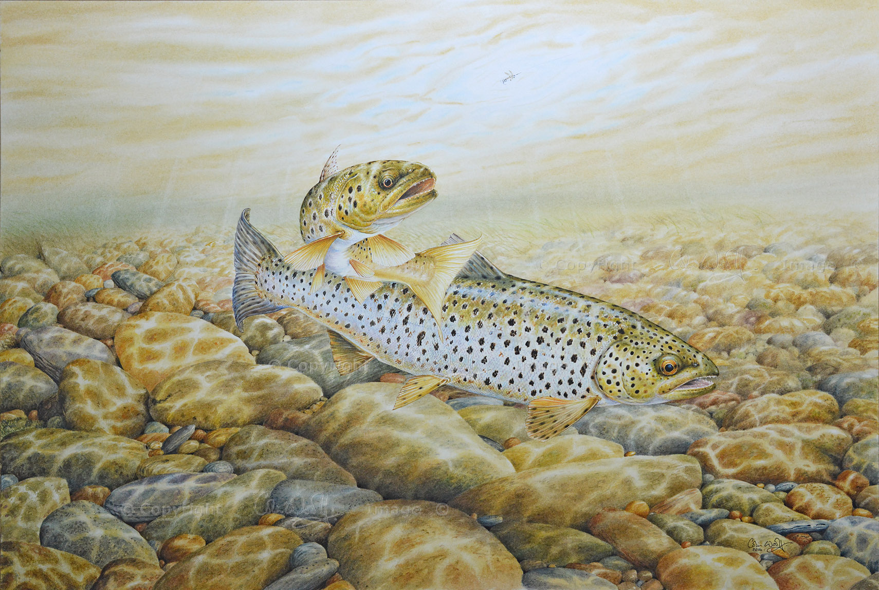 Brown Trout Foiled Again