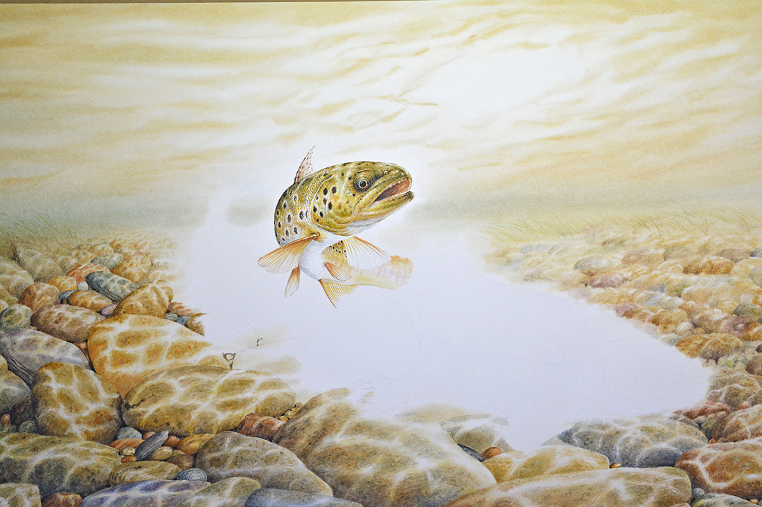 Brown trout - painting by Colin Woolf (2)