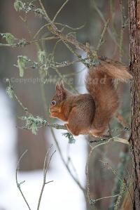 Red squirrel Sciurus vulgaris near Boat of Garten, Highland, Scotland