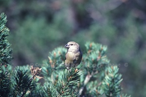 502-A-1 Scottish crossbill Copyright Mike Read