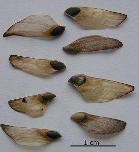 Seeds of Scots pine.  Image via Wikimedia
