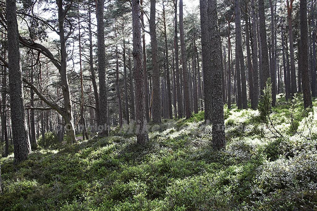 Ancient pine forest at Loch Garten