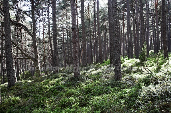 Ancient pine forest at Loch Garten