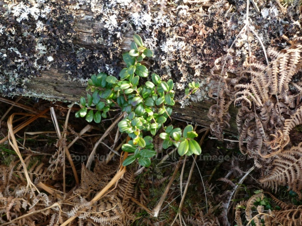 Cowberry, growing on a dead pine