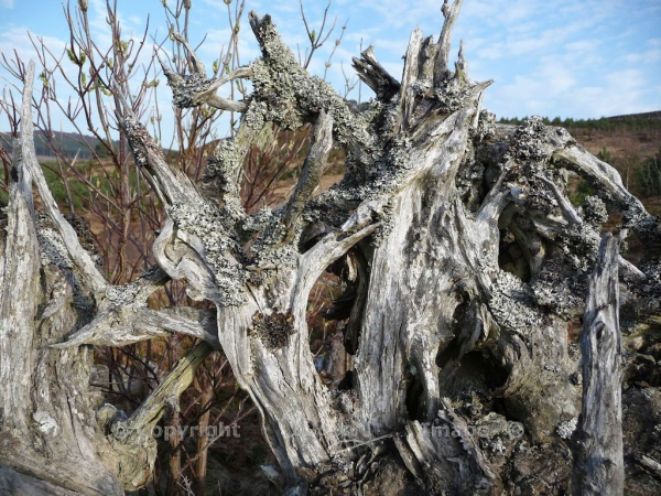 Scots Pine 11