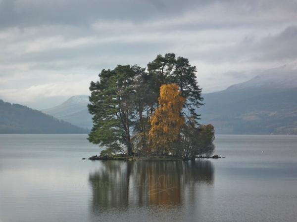 Scots Pine 15