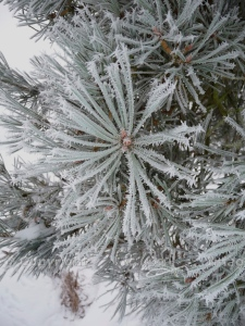 Frost-covered needles