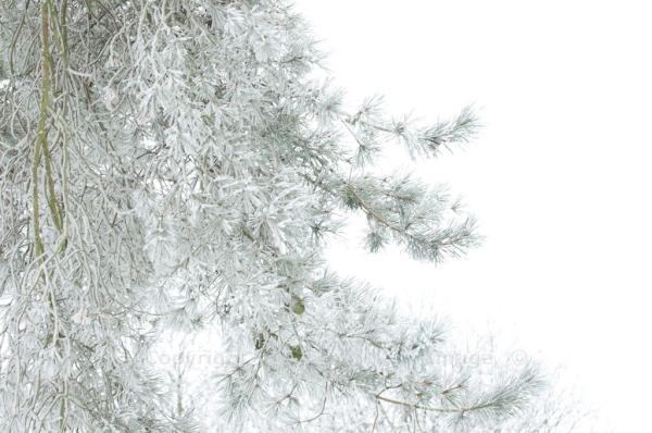 Scots Pine 18