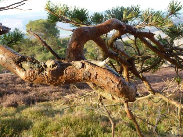 Scots Pine 2