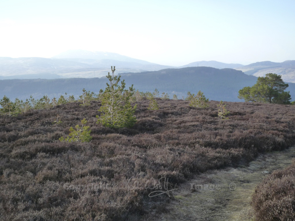 Young Scots pines in Perthshire