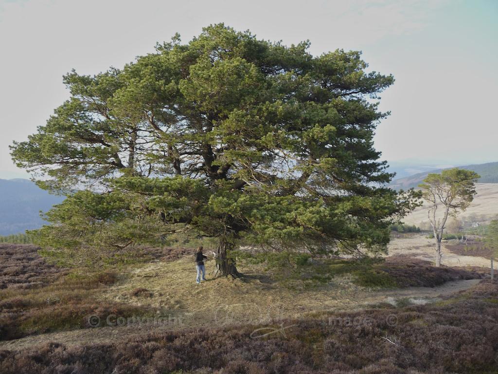 Scots Pine 26
