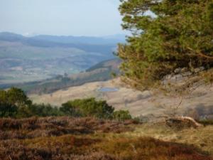 Scots Pine 4