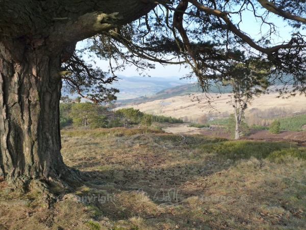 Scots Pine 6