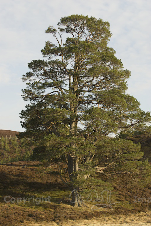 The scots pine keeper of the forest the hazel tree for Mature pine trees