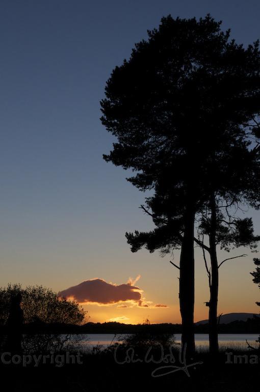 Scots Pine 79