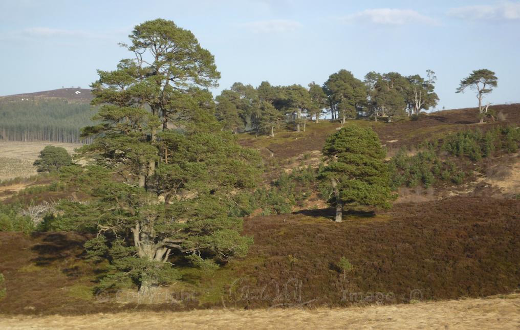 Scots Pine 8
