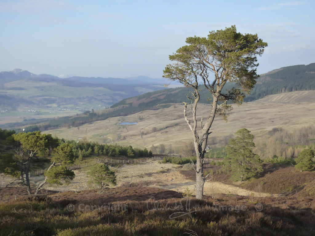 Scots Pine 9