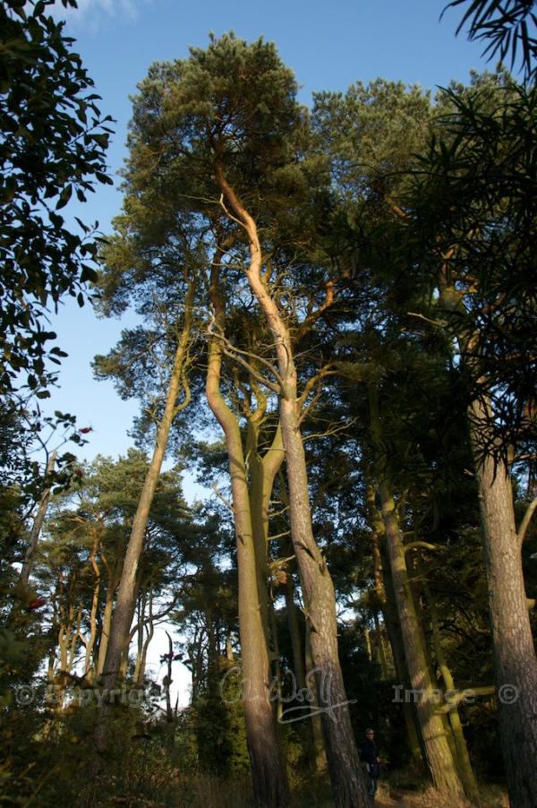 Scots Pine, Loch Leven