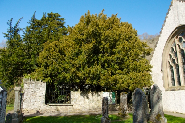 Fortingall Yew 1