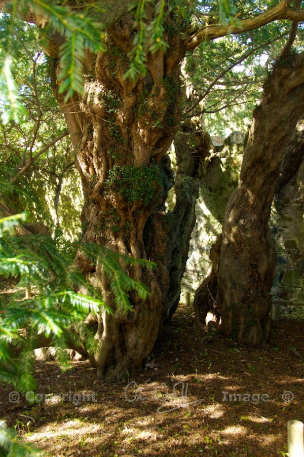 Fortingall Yew 4