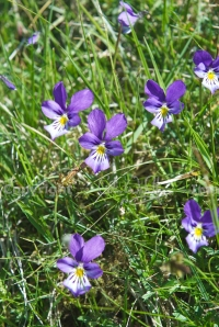 Mountain pansy, Viola lute