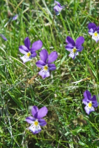 Mountain pansy, Viola lute