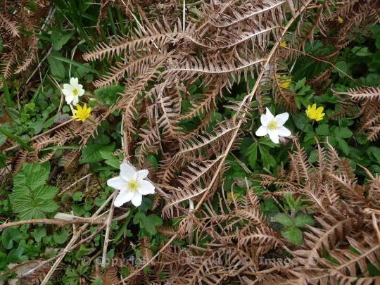 Primrose, celandines and wood anemones