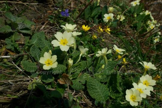 Primroses, celandines and violets