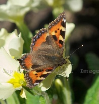 Pin-eyed flowers, with small tortoiseshell