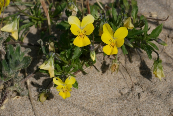 Heartsease or wild pansy (Viola tricolor ssp. curtisii)