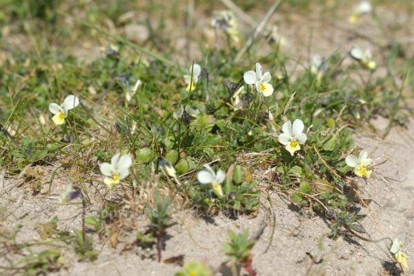 Viola tricolor (2)