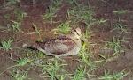 Woodcock feeding, photo by Colin Woolf