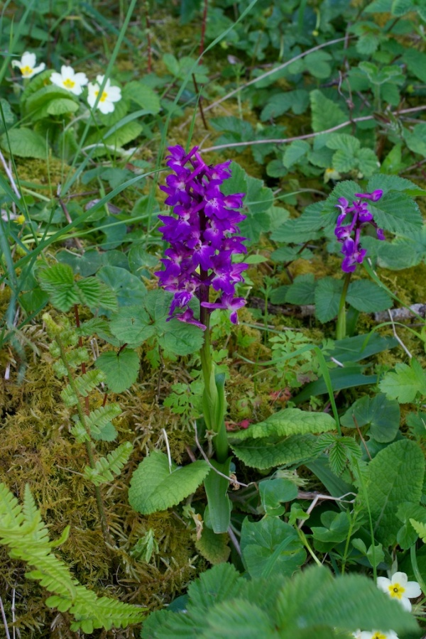 Early purple orchid (3)
