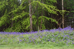 Bluebells at Kilmartin