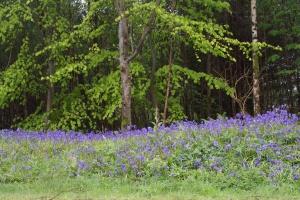 Bluebells at Kilmartin