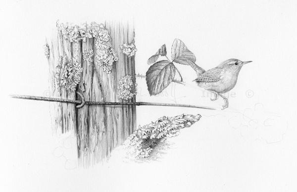 Wren lichen unf-ws