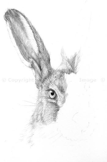Brown hare (1)