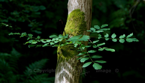 Ash leaves (1)