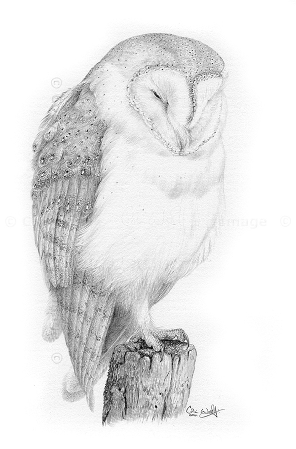 Barn Owl pencil drawing by Colin Woolf