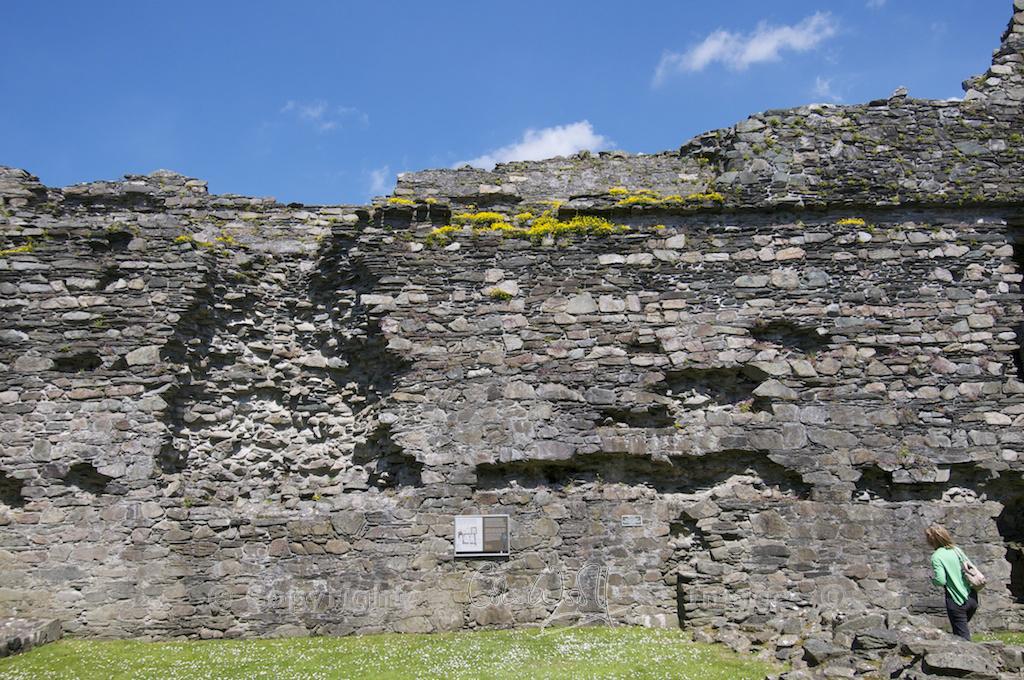 Bird's foot trefoil growing in the walls of Castle Sween