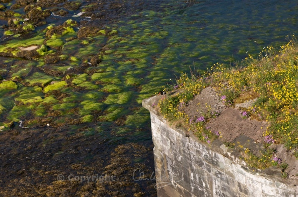 Growing on a cutwater of the bridge at Inveraray, along with fairy foxgloves