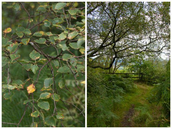 Birch collage