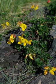 Bird's foot trefoil (3)